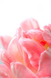 Beautiful floral background with pink tulip Stock Image