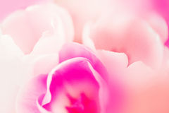 Beautiful floral background with pink tulip petals Stock Image
