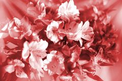 Beautiful floral background in warm red and white soft colors, lily flowers in sun rays closeup. Blurred bokeh delicate pink flower composition, festive art royalty free stock images
