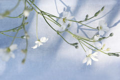Beautiful floral background with white flowers on light blue background, selected focus Royalty Free Stock Photography