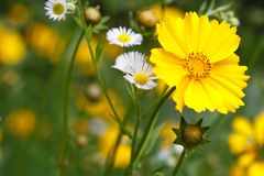 Beautiful floral background of yellow coreopsis flower Royalty Free Stock Photos