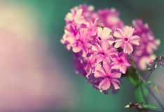 Beautiful floral border of pink flowers Royalty Free Stock Image