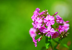 Beautiful floral border of pink flowers Stock Images