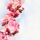 Beautiful Floral Cherry Blossom Border Stock Photos