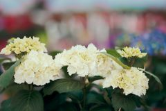 White Hortensia Flower Detail in Greenhouse Floral Background Royalty Free Stock Photos