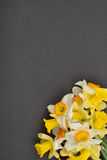 Beautiful floral corner with white and yellow daffodils flowers Stock Images