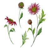 Beautiful floral set. Red chrysanthemum flowers on stems with leaves and closed buds isolated on white background. vector illustration
