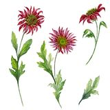 Beautiful floral set. Red chrysanthemum flowers on stems with leaves and closed buds isolated on white background. royalty free illustration