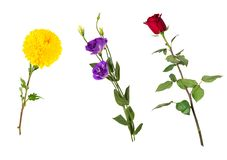 Beautiful floral set vivid red rose, bright yellow chrysanthemum, purple eustoma on stems with green leaves. Flowers isolated on white background. Side view royalty free stock photos