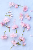 Beautiful floral, spring background with Japanese cherry flowers Royalty Free Stock Photography
