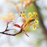 Beautiful floral spring time background. Red maple branch with yellow flowers and fresh tender leaves. Budding flowering. Still life in the park. Soft and stock photo