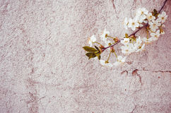 Beautiful floral textured background. Fresh gentle cherry tree blossom Stock Image