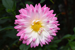 Beautiful floral white and pink Dahlia flower Stock Photography