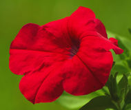 Beautiful flower. Red bloom on green background abstract Stock Image