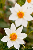 Beautiful flower. Garden with a blurred background Royalty Free Stock Photography