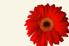 Beautiful flower. A close-up of red gerbera, isolated on a white background Royalty Free Stock Photo