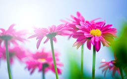 Beautiful Flower Royalty Free Stock Image