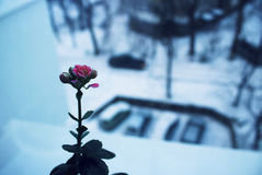Beautiful flower. Beautiful, blooming  pink flower on the windowsill Stock Photo