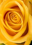 Beautiful flower. Rose (Rosa), a kind of flower which belongs to the rose-like family, includes over 200 species (according to some researchers up to a few royalty free stock image