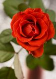 Beautiful flower. Rose (Rosa), a kind of flower which belongs to the rose-like family, includes over 200 species (according to some researchers up to a few stock photo