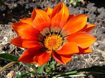 Beautiful flower. Beautiful colors and light on flower Royalty Free Stock Photo