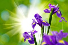 Beautiful flower against the sun Royalty Free Stock Image