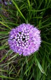 Beautiful flower, Allium Millenium Royalty Free Stock Photo