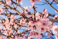 Beautiful flower almond at springtime. Almond tree in full bloom against blue sky in the spring. Beautiful and natural flower stock images