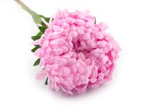 Beautiful flower aster. Beautiful flower and plant pink Stock Image
