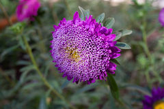 Beautiful flower aster on green meadow. Macro Royalty Free Stock Photography