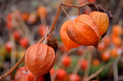 Beautiful flower of autumn. But already withered. stock image