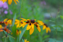 Beautiful flower background. Amazing view of bright orange-Yello Royalty Free Stock Photo