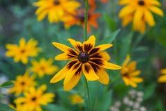 Beautiful flower background. Amazing view of bright orange-Yello Stock Images
