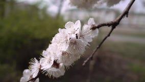 Beautiful flower blossom cherry tree branch stock video
