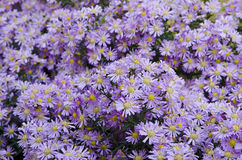 Beautiful flower blue aster Stock Images