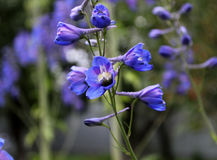 Beautiful flower. Beautiful blue flower, blossoming buds, wildflowers Royalty Free Stock Photography