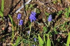 Grape hyacinth. Beautiful flower of blue purple `Grape hyacinth Stock Photography