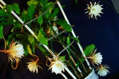 The beautiful flower Broad-leaved Epiphyllum stock image