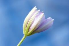 Beautiful flower bud Royalty Free Stock Photos