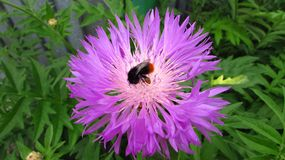 Beautiful flower, a bumblebee gathers nectar royalty free stock images