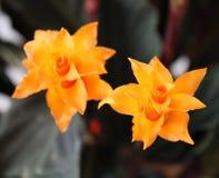 Beautiful flower of Calathea royalty free stock photography