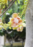 Beautiful flower of Cannon Ball Tree, Sal Tree, Sal of India, Co Stock Photography