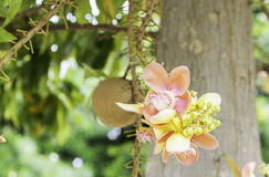 Beautiful flower of Cannon Ball Tree, Sal Tree, Sal of India, Co Royalty Free Stock Photo