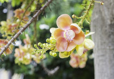 Beautiful flower of Cannon Ball Tree, Sal Tree, Sal of India, Co Royalty Free Stock Photography