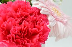 Beautiful flower. (Carnation) Royalty Free Stock Photography