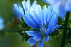 Beautiful flower of chicory on a green meadow. Macro Royalty Free Stock Photo