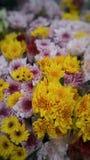 Beautiful flower Chrysanthemum to worship the Buddha. Royalty Free Stock Photo