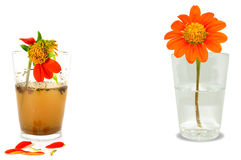 A beautiful flower with clear water in the glass and a dead flower with dirty water in the glass  isolated on white background. Co Stock Photo