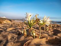 Beautiful flower on a cliff growing in sand at the atlantic ocean in Portugal, Europe. stock photos