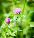 Beautiful flower on clover in nature Stock Image